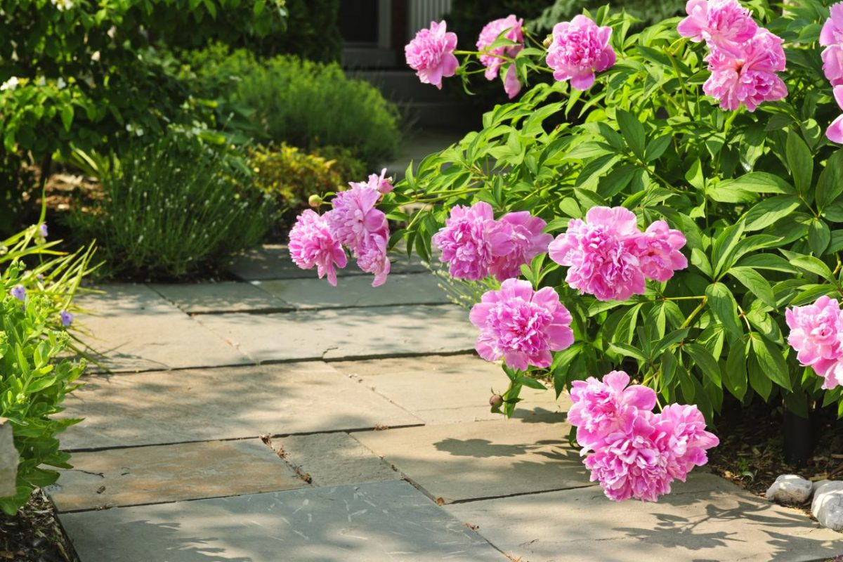 Myths about Planting Peonies